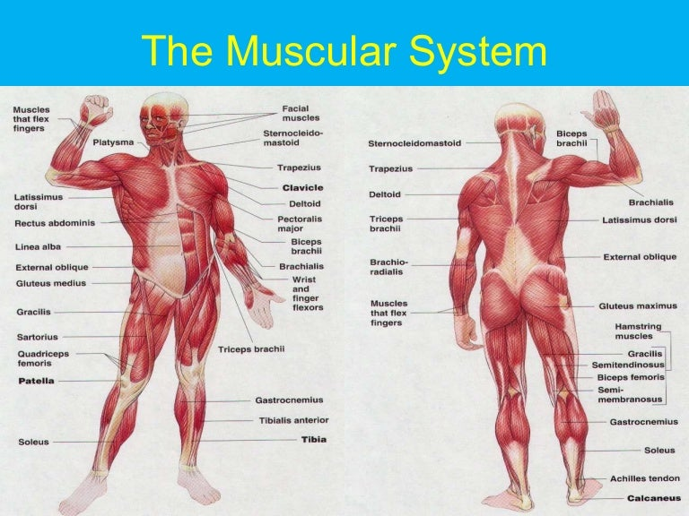 the muscular system,