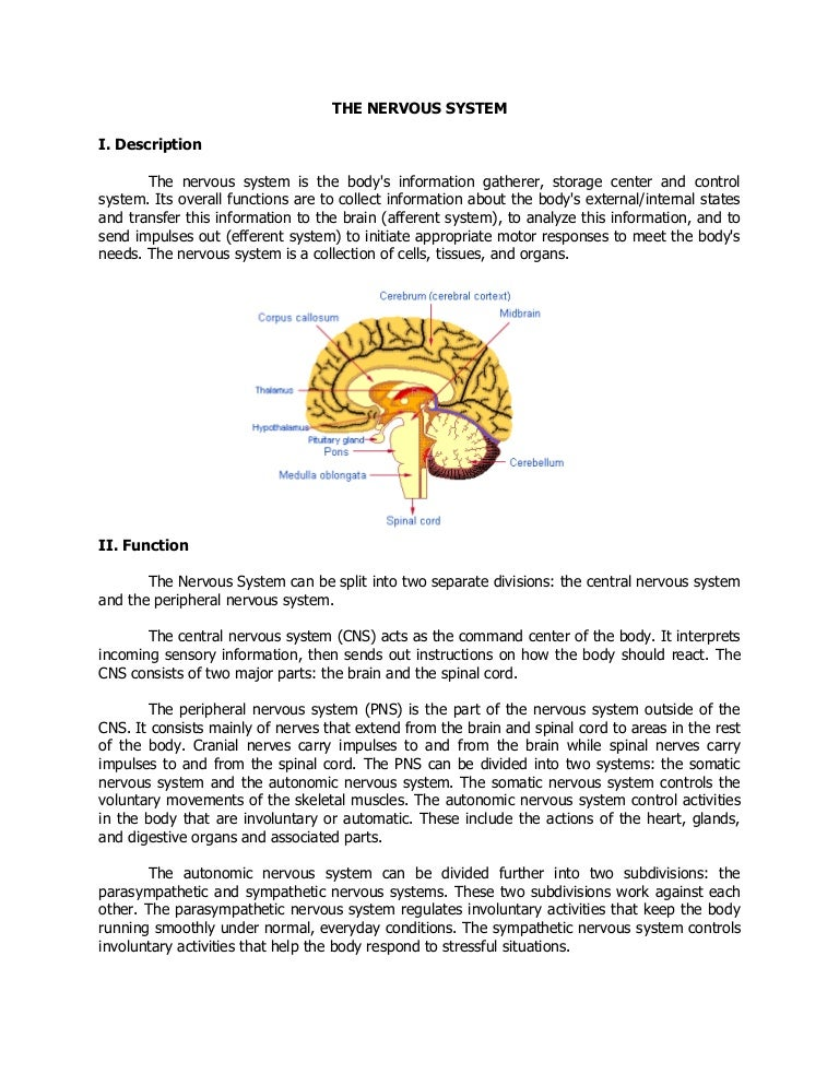 The Nervous System Parts Function Illness And Diseases