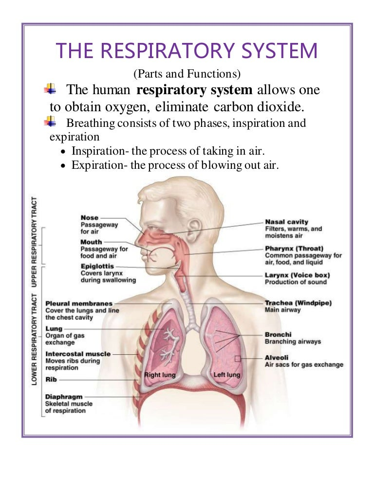 The Respiratory System |Respiratory System Organs And Functions