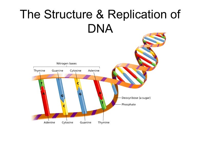 Labeled Dna Replication Steps Diagram