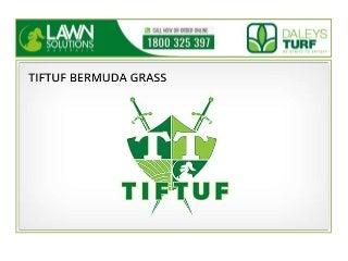 Tiftuf bermuda grass by daleysturf.com.au