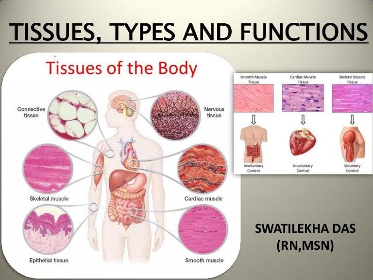 tissues  types and functions anatomy