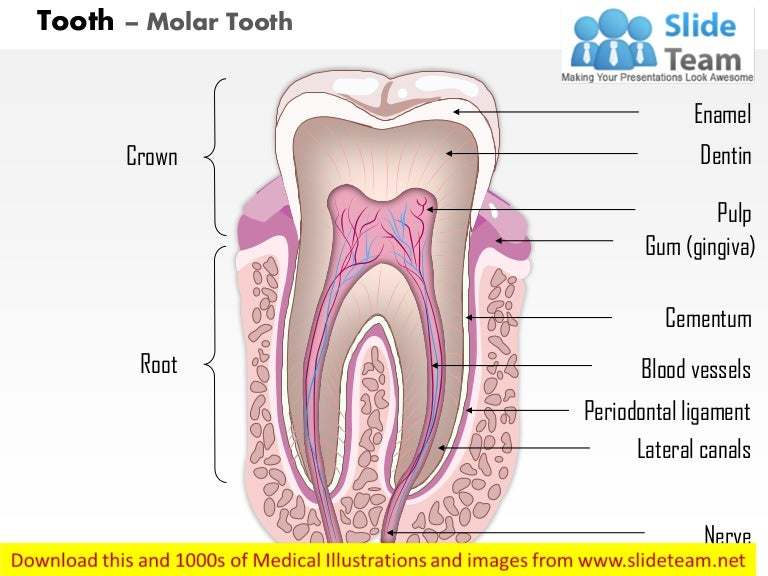 Labeled diagram molar electrical work wiring diagram tooth molar tooth medical images for power point rh slideshare net a diagram of a molar mass human teeth diagram molars ccuart Choice Image