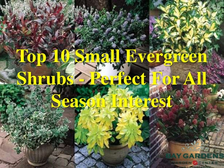 Top 10 Small Evergreen Shrubs Perfect For All Season
