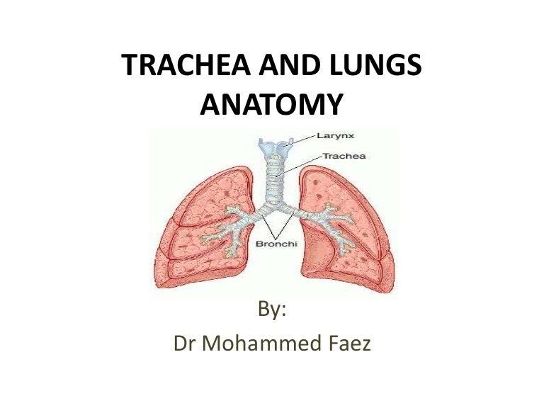 Trachea Lungs