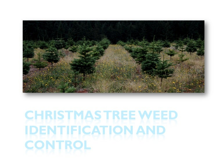 Christmas Tree Weed Identification And Control