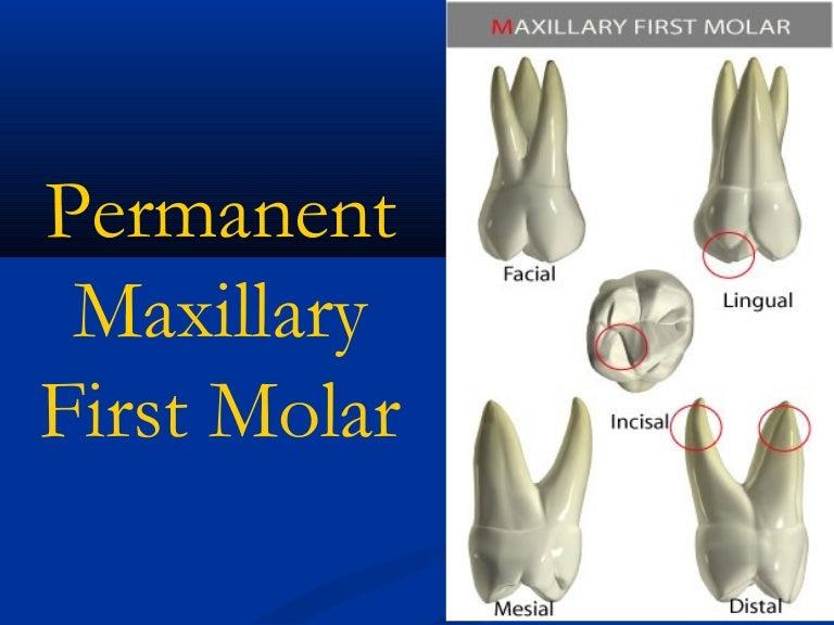 Upper First Molar