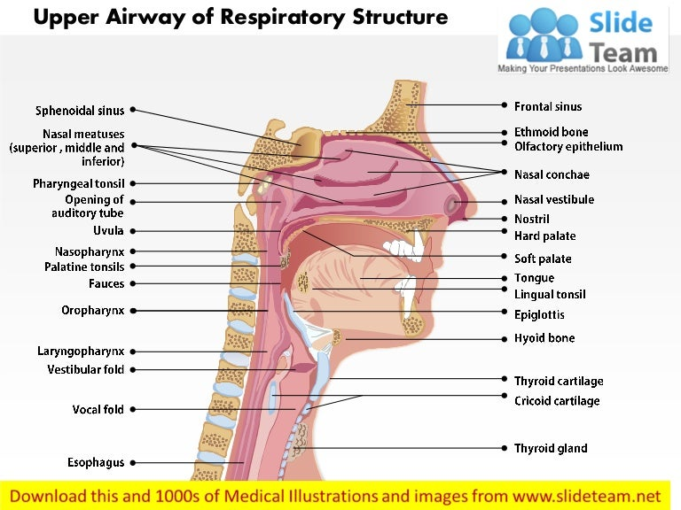Upper Airway Of Respiratory Structure Medical Images For Power Point