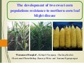 The development of two sweet corn populations resistance to northern corn leaf blight disease