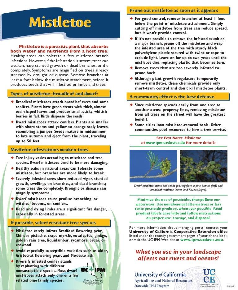 Mistletoe Quick Tips Natural Pest Control