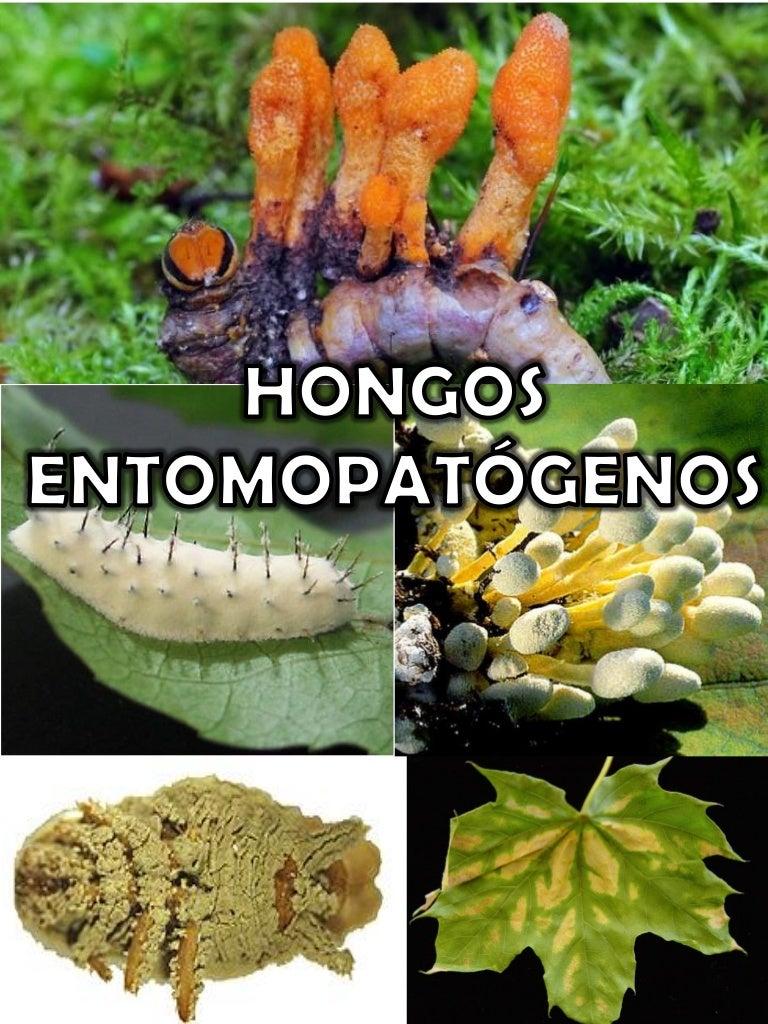 Resultado de imagen para Ventajas y Desventajas del uso de hongos entomopatogenos