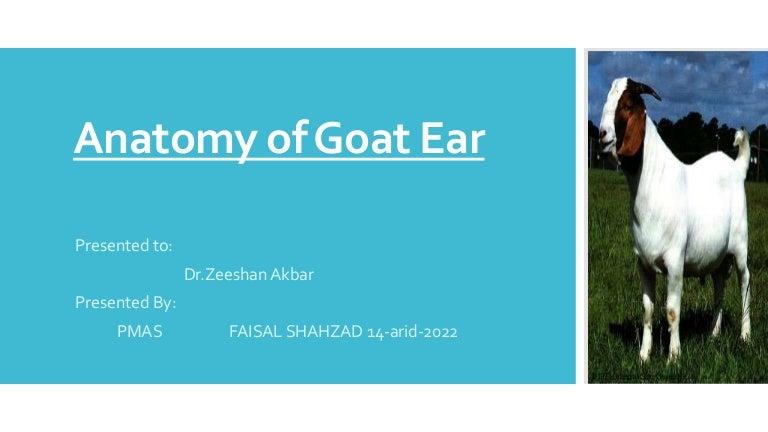 Anatomy of Goat Ear